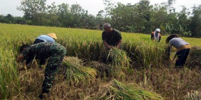 KETAHANAN PANGAN WIL. KORAMIL-08/SAMBUNG MACAN