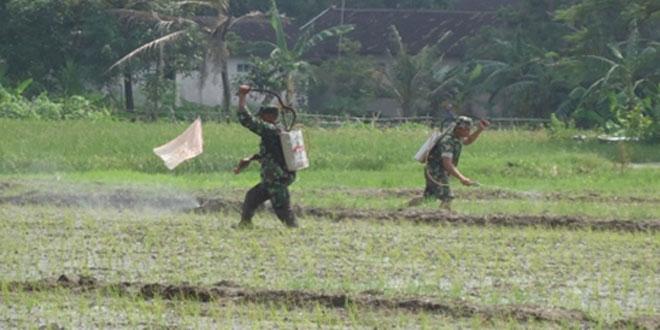 Penyemprotan Padi Menggunakan Pupuk Organik Cair di Desa Gombang Kecamatan Sawit