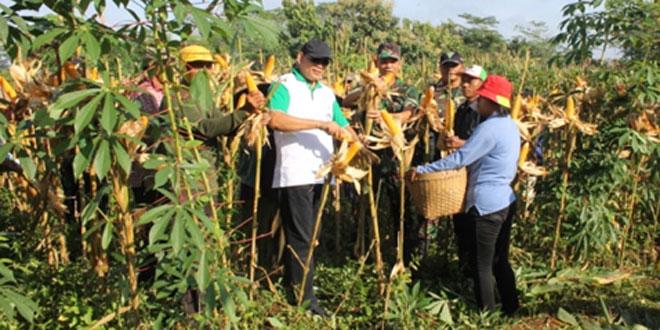 Panen Jagung Hibrida di Desa Ngunut Kecamatan Jumantono – Karanganyar