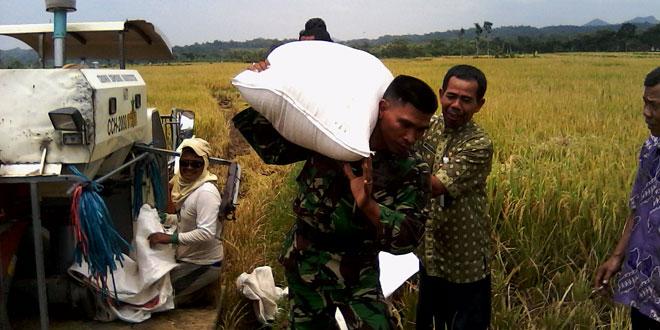 Panen Ubinan Danramil-08/Sambirejo Bersama UPT Dinas Pertanian, PPL dan Bapelluh Sambirejo