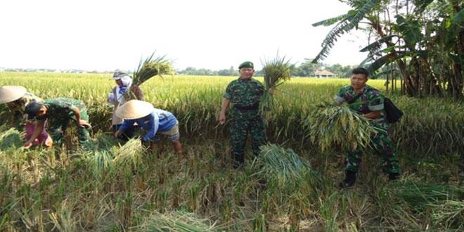 Koramil 08/Talang Panen Raya Padi di Desa Kaladawa Kec. Talang Kab. Tegal