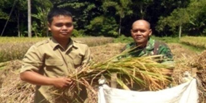 Babinsa Lakukan Panen Raya Padi di Desa Bumiagung