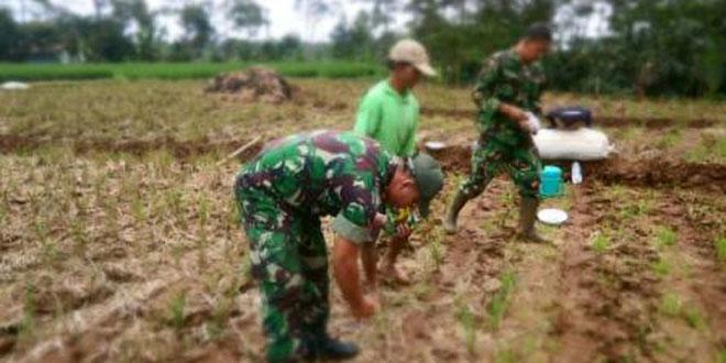 Jajaran Koramil 04/Bawang dan Kelompok Tani Tanam Benih Jagung