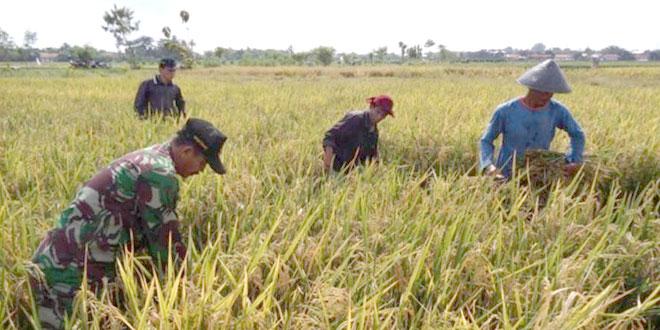 Penghitungan Hasil Panen di Desa Sidakaton