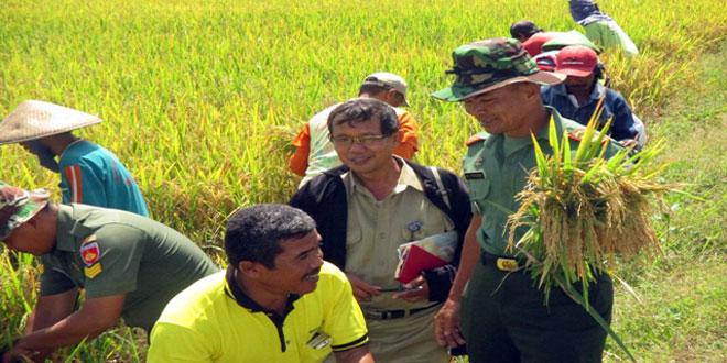 Danramil 05/Suradadi bersama Kepala UPTD Tanbunhut Kecamatan Suradadi Melaksanakan Panen Padi