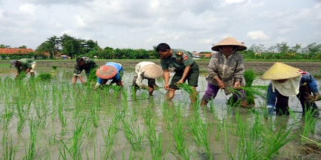 Daramil 01/Tegal Barat Bersama Babinsa dan Para Petani Melaksakan Penanaman Padi