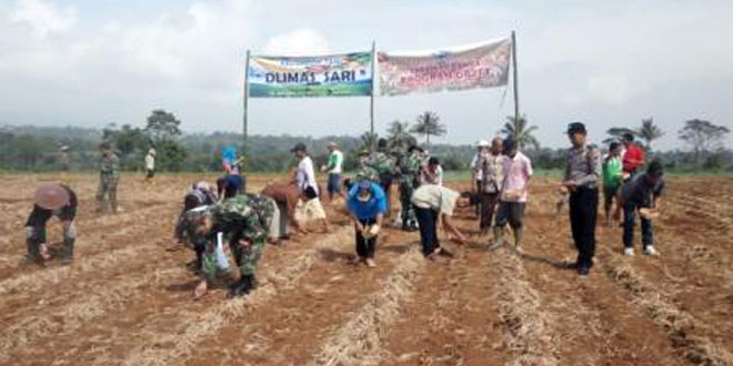 Tanam Perdana Jagung Kecamatan Bawang