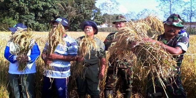 Koramil 11/Pangkah Panen Raya Padi di Desa Bogares Lor