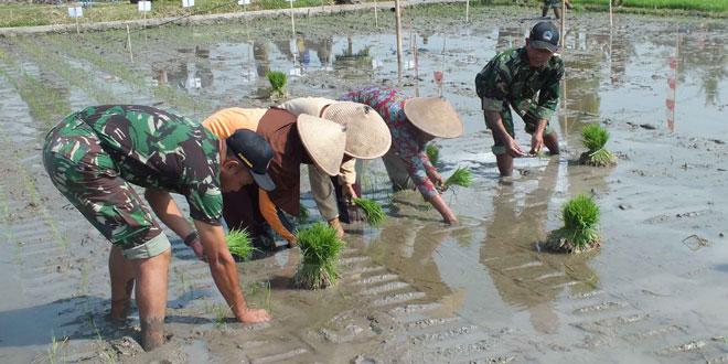 Tajarwo Pertanian di Pandak Bantul