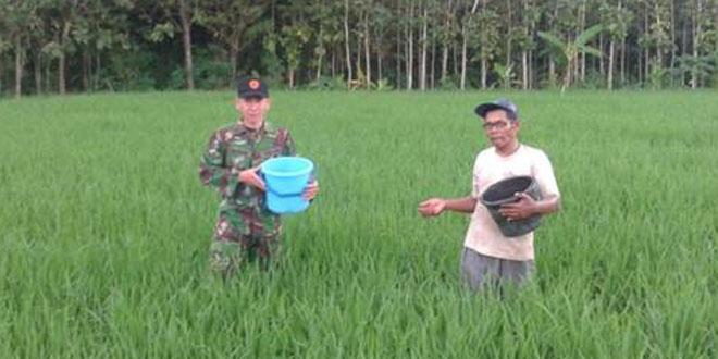 Babinsa Bantu Petani Memupuk Padi Masa Tanam II