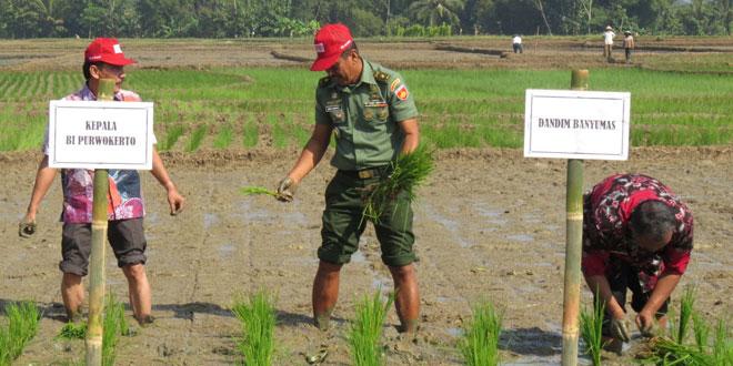 Penanaman Padi dengan Metode Hazton di Desa Pegalongan, Kec. Patikraja
