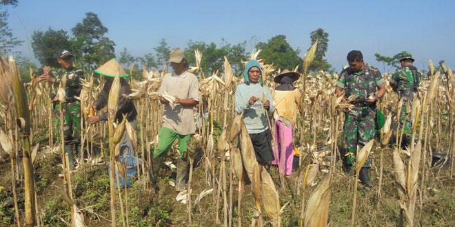 Tanaman Jagung Hibrida di Wilayah Wonosobo