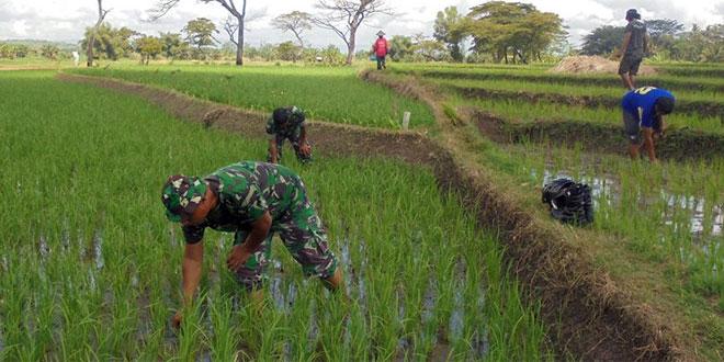 Anggota TNI Bantu Penyiangan Rumput di Lahan Sawah Petani