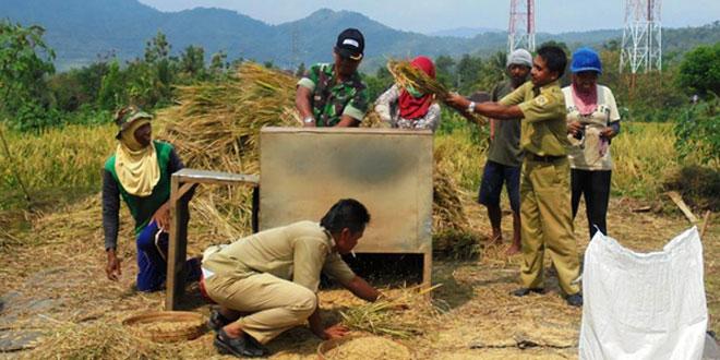Anggota PPL dan Babinsa Bantu Panen Padi di Wilayah Kec. Nguntoronadi