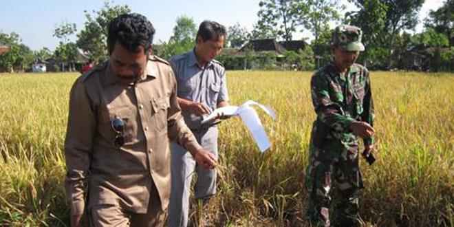 Pengubinan Menjelang Panen Padi di Kecamatan Gesi