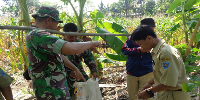 Panen Jagung Ubinan Veritas P.27 di Desa Penujah Kecamatan Kedungbanteng Kab Tegal