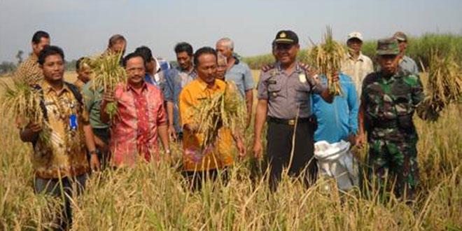 Danramil-07/Ngrampal Bersama Muspika Panen Raya Padi Kesit di Desa Bener