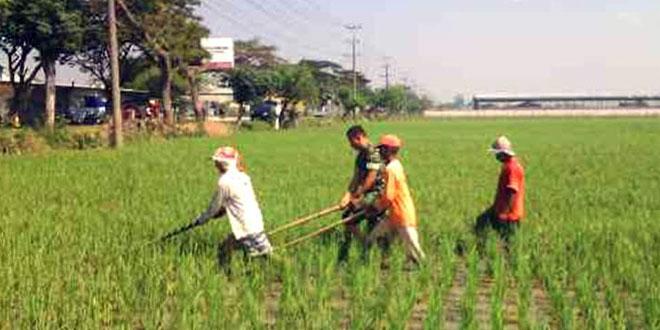 Pendampingan Penyiangan Rumput pada Tanaman Padi