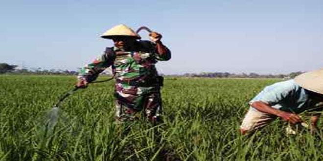 Babinsa Koramil 05/Ulujami Melaksanakan Penyemprotan Tanaman Padi di Desa Bumirejo