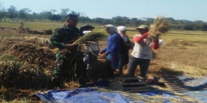 Babinsa Membantu Petani Dalam Rangka Panen Paksa Karena Mengalami Kekeringan