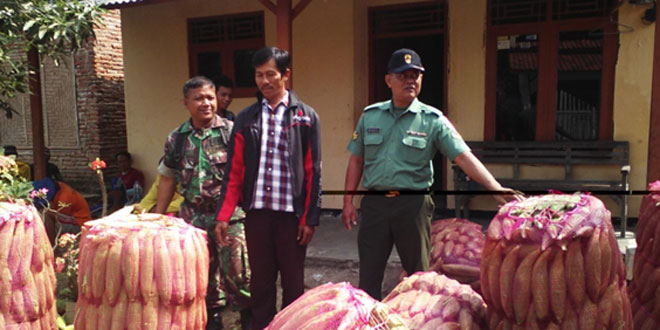 Babinsa Koramil 06/Kramat Meninjau Panen Jagung Desa Jatilawang