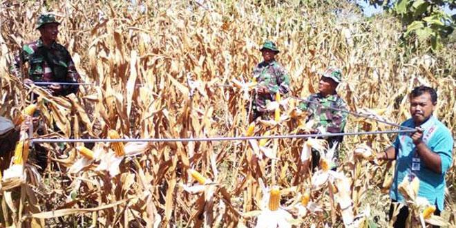 Koramil-13/Sukodono Laksanakan Ubinan Dilanjutkan Panen Jagung  Bersama Petani