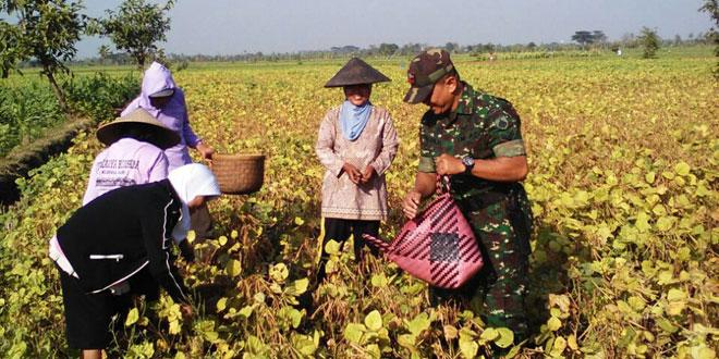 Koramil 08/Karanganyar Dampingi Petani Panen Kacang Hijau