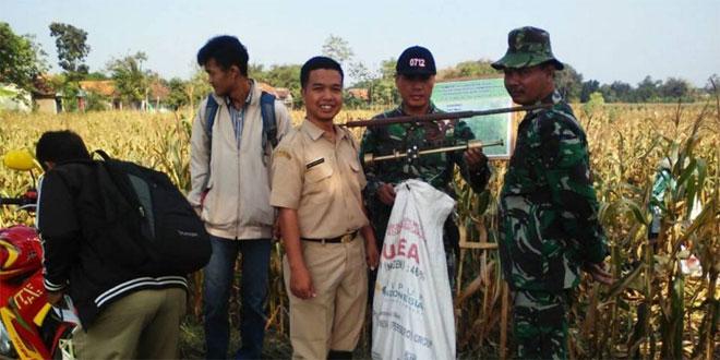 Koramil 11/Pangkah dan Gapoktan Desa Jenggawur Panen Jagung