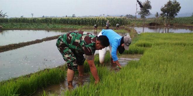 Babinsa Salam Sari Koramil 02/Kedu Dampingi Tanam Padi