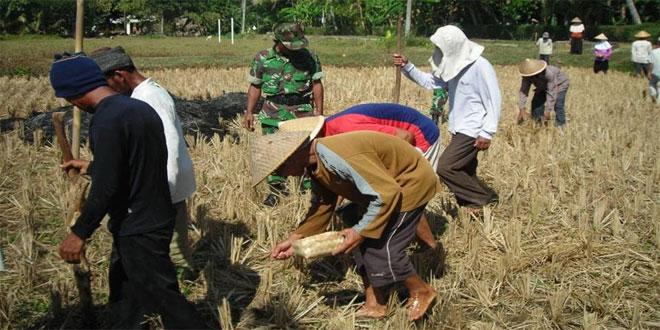 Koramil 02/Bayan Laksanakan Penanaman Kedelai di Desa Bandungrejo