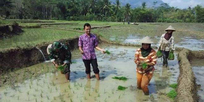 Babinsa Wonosari Dorong Petani Tanam Padi Mikongga di Musim Kemarau
