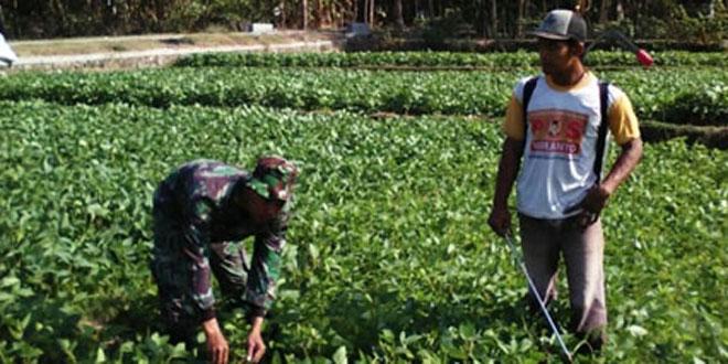 Babinsa Koramil 08/Alian Cek Hama Tanaman Kedelai di Desa Wonokromo