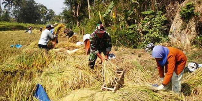 Babinsa Kranggan Laksanakan Panen Padi di Desa Bengkal