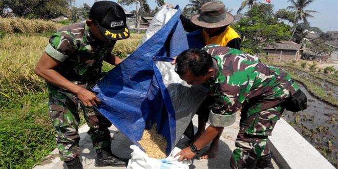 Pos Koramil 24/Magelang Selatan Melaksanakan Pengubinan Hasil Panen