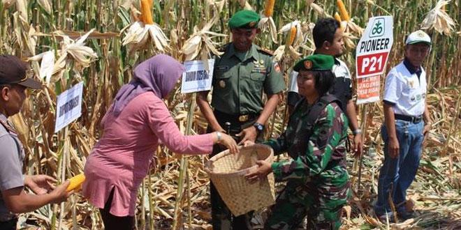 Kodim Sragen Bersama Muspika Panen Raya Jagung di Desa Jono Kec. Tanon