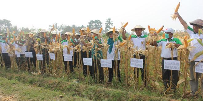 Desa Getas Batang Panen Raya Jagung Hibrida