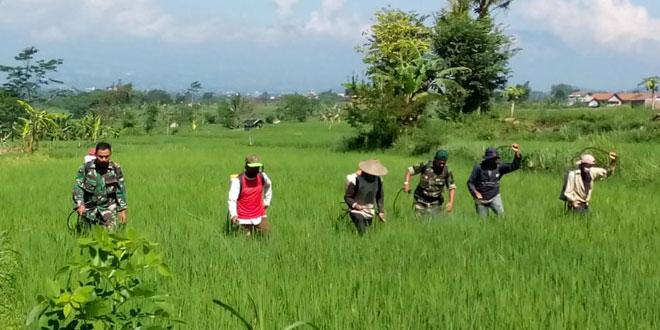 Babinsa dan PPL Bantu Petani Basmi Hama