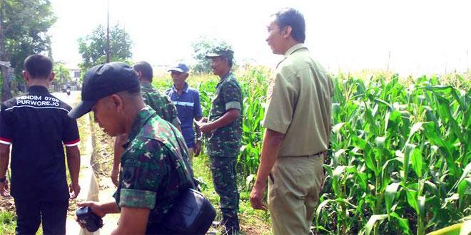 Anggota Koramil 04/Banyuurip Meninjau Tanaman Jagung