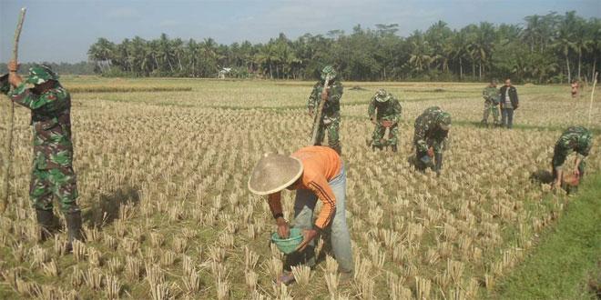 Kegiatan Upsus Koramil 05/Kta Kodim 0708/Pwr Pelaksanaan MT2 di Desa Sidarum, Kec Kutoarjo