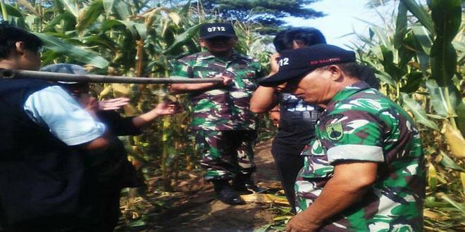 Panen Jagung Ubinan Varitas P-27 di Desa Penujah Kecamatan Kedungbanteng