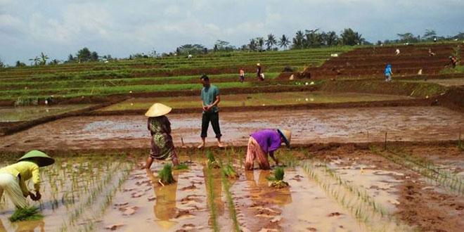 Koramil 23/Cilongok Bersama Poktan Tanam Padi Serentak di Desa Cilongok