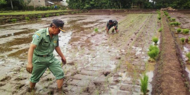 Babinsa 06/Kramat Bantu Petani Tanam Padi di Desa Mejasem Timur