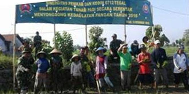 Koramil 07/Adiwerna Sukseskan Swaswmbada Pangan dengan Tanam Padi Serentak di Wilayah Kecamatan Adiwerna