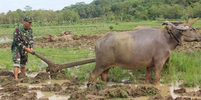 Koramil 01/Purworejo Melaksanakan Pengolahan Lahan Pertanian