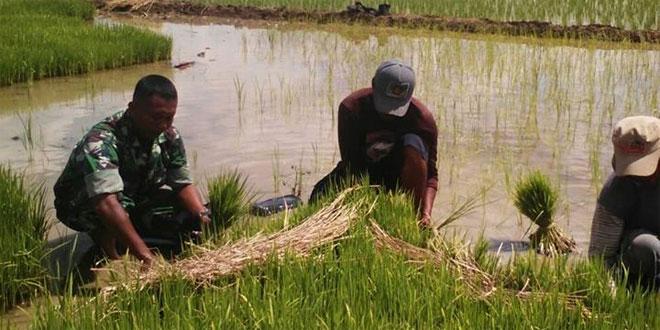 Babinsa Glebeg Pendampingan Petani Bantu Siapkan Lahan dan Bibit
