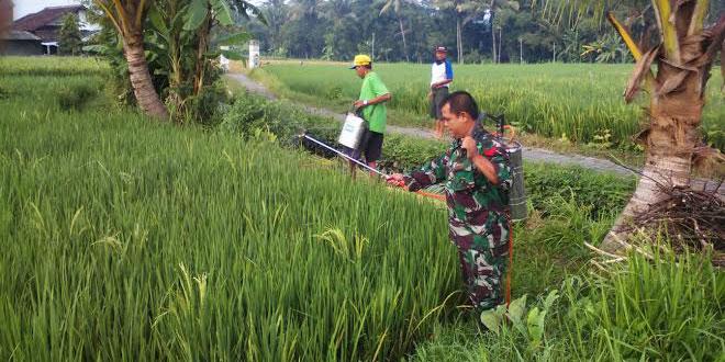 TNI Dampingi Penyemprotan Hama Wereng