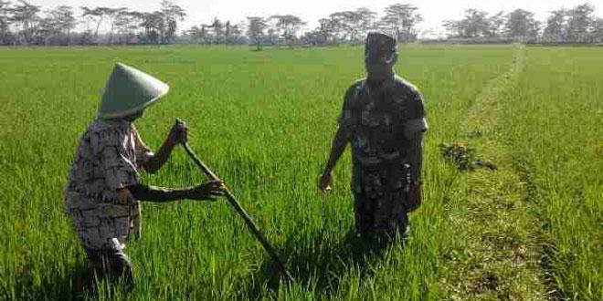 Babinsa Koramil 20/Buayan Lakukan Pendampingan Pertanian