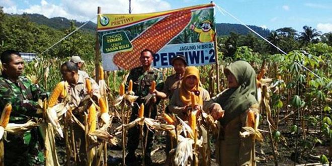 Panen Jagung Bersama Anggota Koramil 13/Pracimantoro