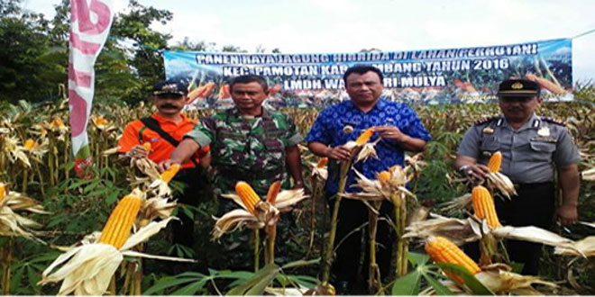 Wujudkan Ketahanan Pangan Nasional Koramil Pamotan Gelar Panen Raya Jagung Hibrida Bisi 18