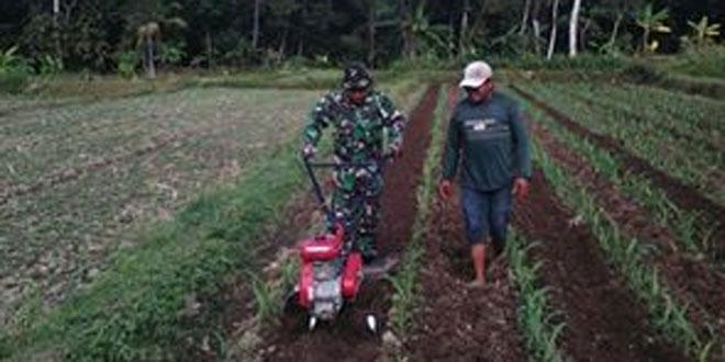 Babinsa Koramil 07/Ngemplak Mendampingi Petani Menyiangi Tanaman Jagung